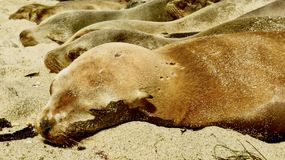 Leones marinos que descansan bajo Sun Fotografía de archivo libre de regalías