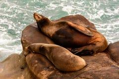 Leones marinos que duermen en rocas imagenes de archivo
