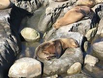 Leones marinos que duermen en una orilla rocosa fotos de archivo libres de regalías