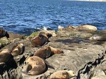 Leones marinos que duermen en una orilla rocosa imagen de archivo