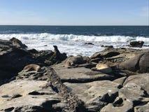 Leones marinos que duermen en una orilla rocosa fotografía de archivo libre de regalías