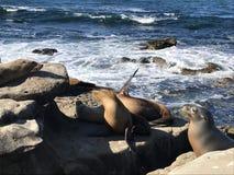 Leones marinos que duermen en una orilla rocosa imágenes de archivo libres de regalías