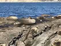 Leones marinos que duermen en una orilla rocosa foto de archivo