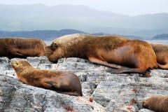 Leones marinos que mienten en roca con el varón grande, bahía de Ushuaia, la Argentina Imagen de archivo libre de regalías