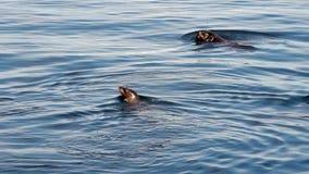 Leones marinos que nadan en la bahía Monterey California metrajes