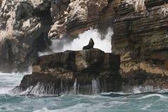 Leones marinos suramericanos que descansan sobre roca de la costa de Perú imagen de archivo