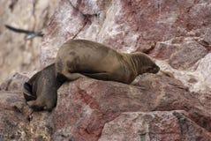 Leones marinos suramericanos que se relajan en las rocas de las islas de Ballestas en el parque nacional de Paracas. Perú. Imagen de archivo