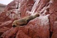 Leones marinos suramericanos que se relajan en las rocas de las islas de Ballestas en el parque nacional de Paracas. Perú. Fotografía de archivo