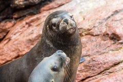Leones marinos suramericanos que se relajan en las rocas de las islas de Ballestas en el parque nacional de Paracas. Perú. Flora y Foto de archivo