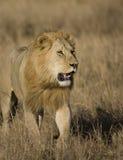 Leones masculinos en el Masai Mara Fotos de archivo