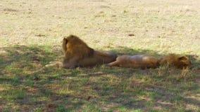 Leones masculinos que descansan en sabana en África almacen de metraje de vídeo