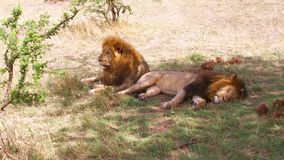 Leones masculinos que descansan en sabana en África metrajes