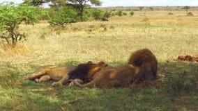 Leones masculinos que descansan en sabana en África almacen de video