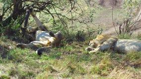 Leones masculinos que duermen en sabana en África metrajes