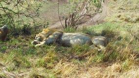 Leones masculinos que duermen en sabana en África almacen de metraje de vídeo
