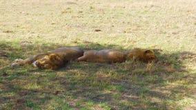 Leones masculinos que duermen en sabana en África almacen de video