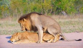 Leones (panthera leo) que se acoplan en el salvaje Imágenes de archivo libres de regalías