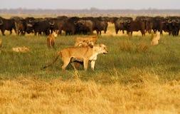 Leones que cazan el búfalo Fotografía de archivo libre de regalías