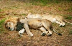 leones que descansan sobre la tierra herbosa imágenes de archivo libres de regalías