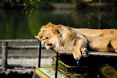 Leones que duermen encima de un coche del safari Fotos de archivo libres de regalías