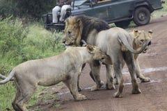 Leones que juegan con el león masculino del padre - rey de la selva Fotografía de archivo libre de regalías