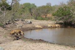 Leones sedientos que beben en la sabana - Suráfrica Foto de archivo libre de regalías