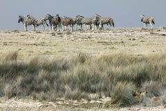 Leones y cebras Imagen de archivo