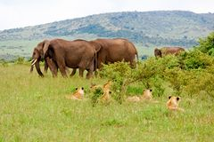 Leones y elefantes Fotografía de archivo libre de regalías