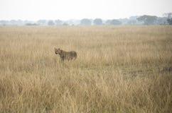Leonessa adulta che sta nelle erbe alte in regina Elizabeth Nation Fotografia Stock Libera da Diritti