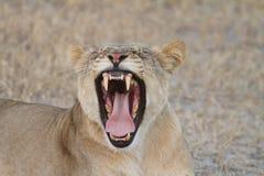 Leonessa africana che rugge Fotografia Stock