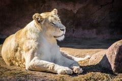 Leonessa bianca che si rilassa un giorno caldo vicino alle rocce Fotografia Stock