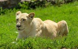 Leonessa bianca su erba verde fotografia stock