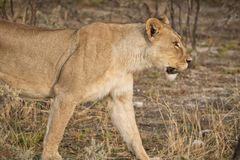 Leonessa che cammina fra i cespugli della savana africana nafta immagine stock