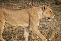 Leonessa che cammina fra i cespugli della savana africana nafta fotografie stock
