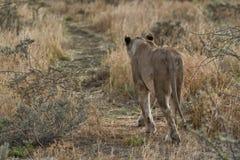 Leonessa che cammina sulla vista della savana da dietro nafta l'africa fotografie stock libere da diritti