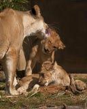 Leonessa che governa il suo cucciolo Immagine Stock