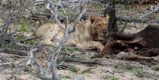 Leonessa che lecca la sua preda nella savanna Immagine Stock