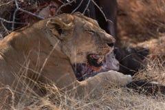Leonessa che mangia sulla carcassa di un bufalo nel cittadino di Ruaha fotografie stock libere da diritti