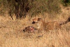Leonessa che mangia zebra Immagine Stock Libera da Diritti
