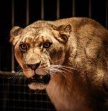 Leonessa in circo fotografie stock