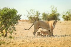 Leonessa con i suoi cuccioli di leone immagine stock