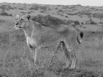 Leonessa di caccia Immagini Stock Libere da Diritti