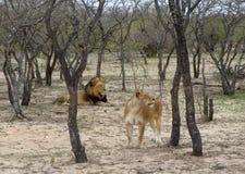 Leonessa e leone nella savanna Fotografie Stock Libere da Diritti