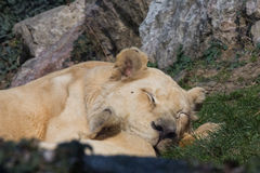 Leonessa een riposo - Grande-felino Royalty-vrije Stock Foto