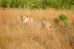 Leonessa in erba alta, parco nazionale di Kruger immagine stock libera da diritti