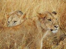 Leonessa in erba lunga con il leone maschio immagini stock