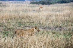Leonessa in erbe alte, regina Elizabeth National Park, Uganda Fotografia Stock