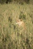Leonessa in erbe alte, Serengeti, Tanzania Immagini Stock