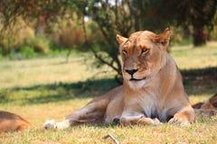 Leonessa in Lion Park Fotografia Stock Libera da Diritti