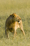 Leonessa a Mara masai, Kenya fotografia stock
